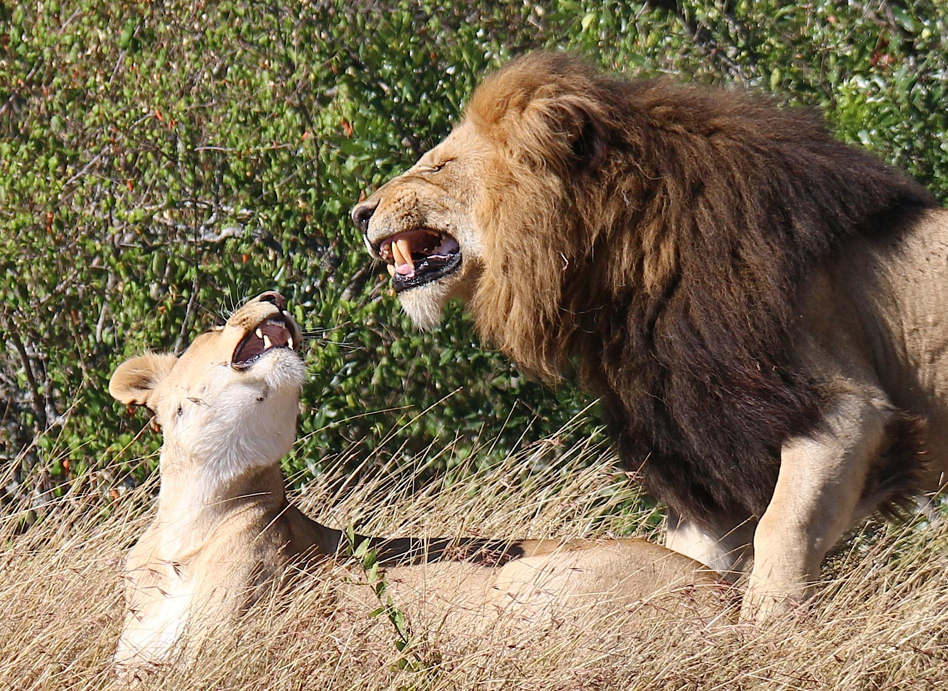Lion mates shp