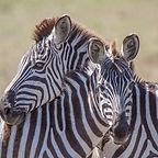 Zebra Hug copy 2.jpg