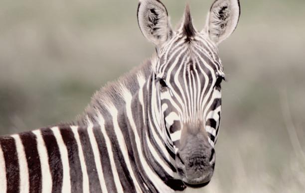 Zebra Curiosity