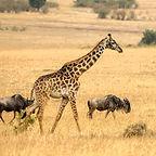 Giraffe%20and%20wildebeests_edited.jpg