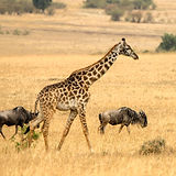 Giraffe%20and%20wildebeests_edited.jpg