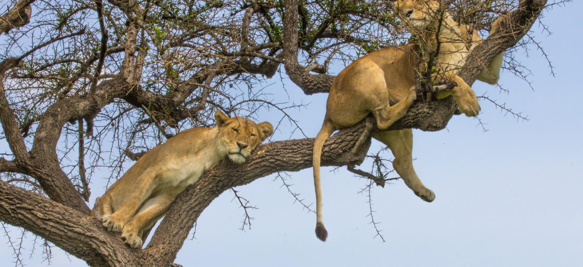 Tree Lions
