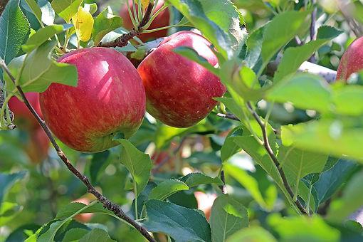 apple-2720105_1920.jpg