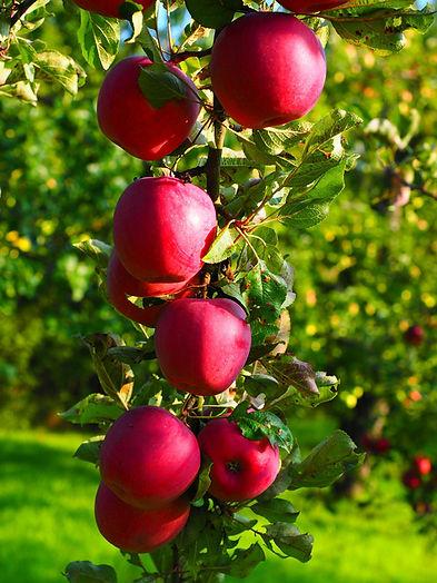 apple-694005_1920.jpg