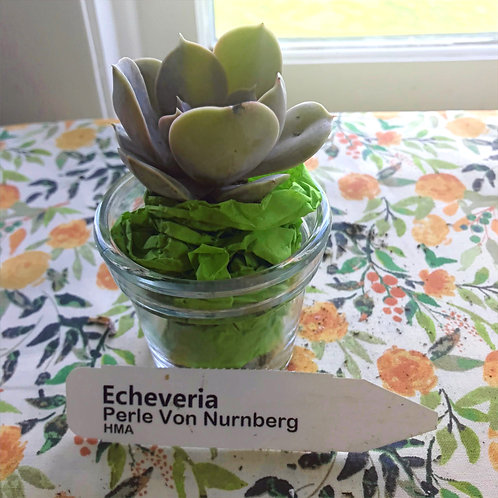 Echeveria Perle Von Nurnberb Succulent Plug: PORCH PICKUP ONLY