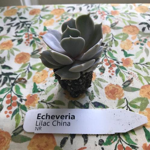 Echeveria Lilac China Succulent Plug: PORCH PICKUP ONLY