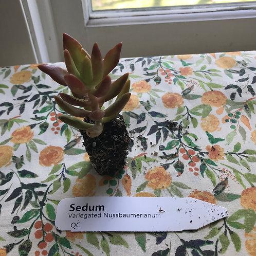 Sedum Variegated Nussbaumerianum Succulent Plug: PORCH PICKUP ONLY