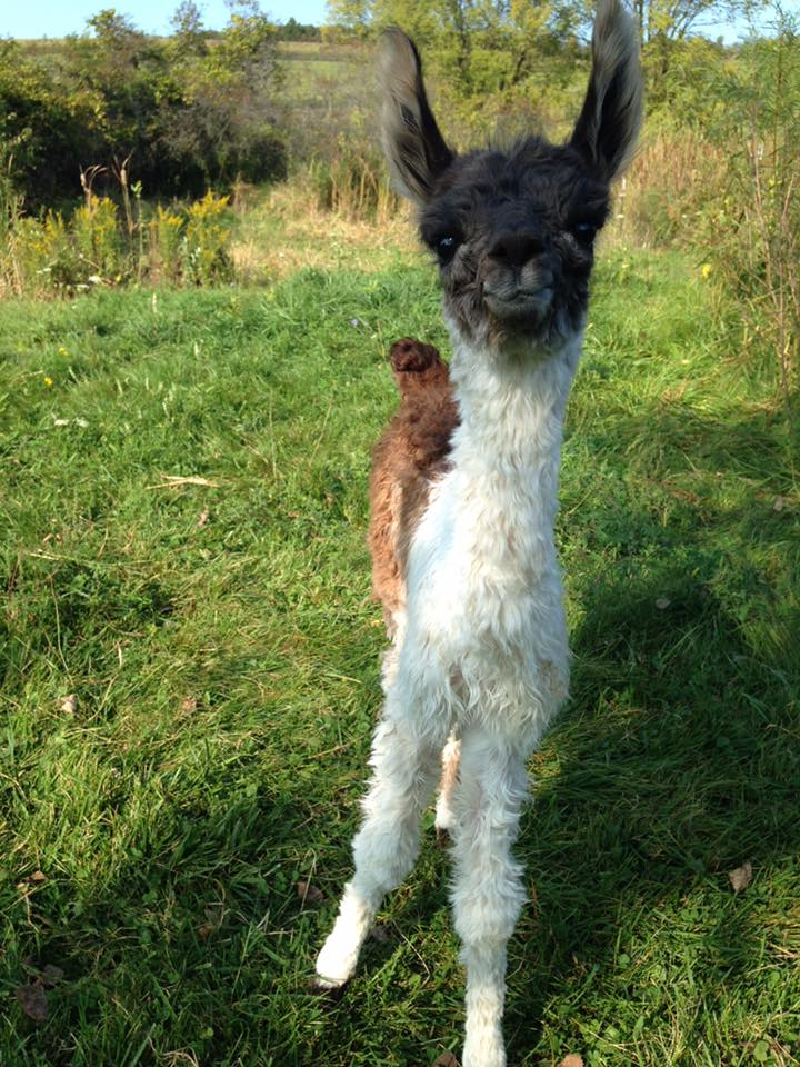 """Libby"" our Baby Cria"