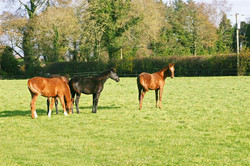 Foals before sales