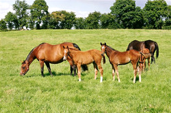 Foals with their dams