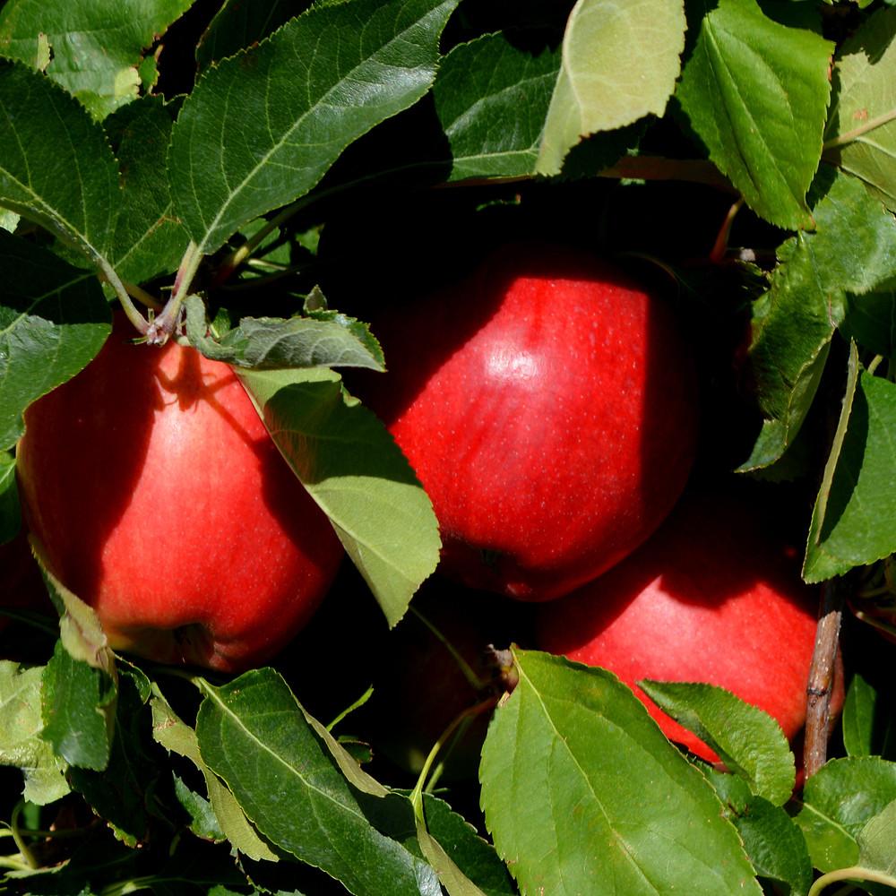 apples circle crop.jpg