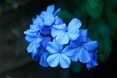 flores azules.jpg
