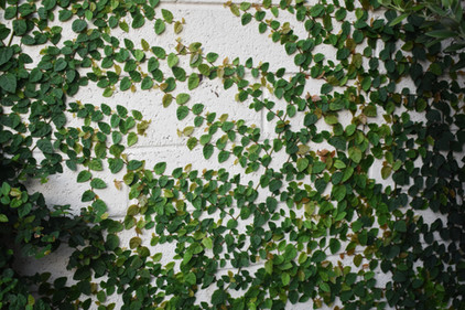 Vines on Wall in Crown Point Landscape