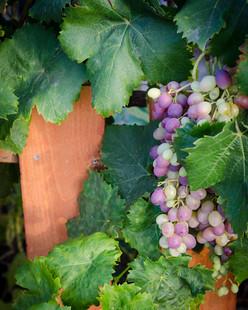 Beautiful Sweet, Fresh-Eating Grapes
