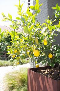Fruit Tree Design in Mission Hills