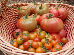 Heirloom Tomato Harvest from Home Garden