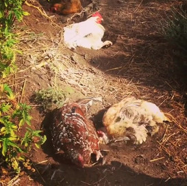 Chickens in Residential Landscape, San Diego