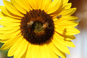 Bee Friendly Landscape Design