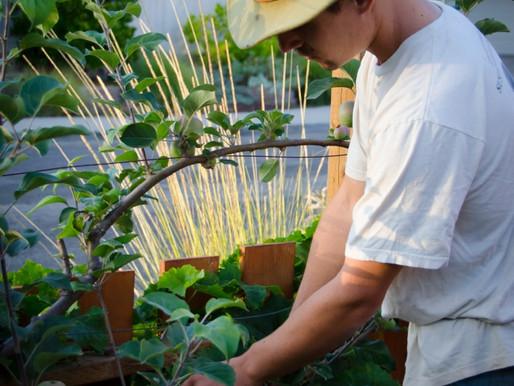 Edible Landscaping: Fruit Tree Pruning Tips