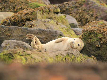 Photographing Ravenscar's Seal Colony