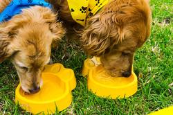 Golden retriever tomando agua