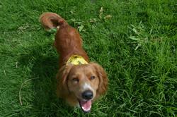Belisario canino feliz