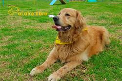 Madox Golden retriever