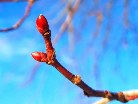 Viete ktorý strom má najchutnejšie púčiky?