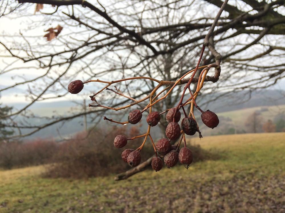 jarabina brekyňová, plody, Sorbus torminalis,