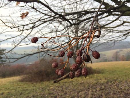 Jarabina brekyňová-  vynikajúce jedlé plody cez zimu