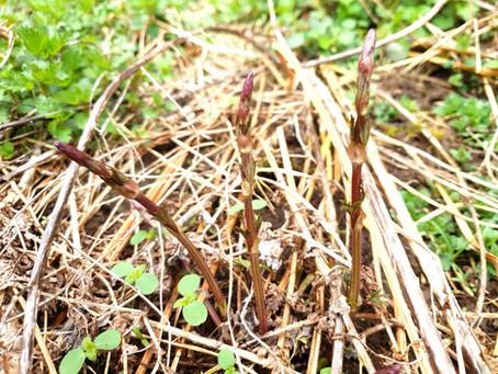 Mladé výhonky chmeľu to je jedna z najchutnejších divokých zelenín