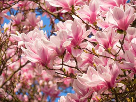 Vedeli ste, že kvety magnólie sú jedlé?