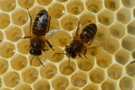 abeilles noires5448red.jpg