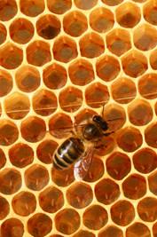 abeille noire5457red.jpg