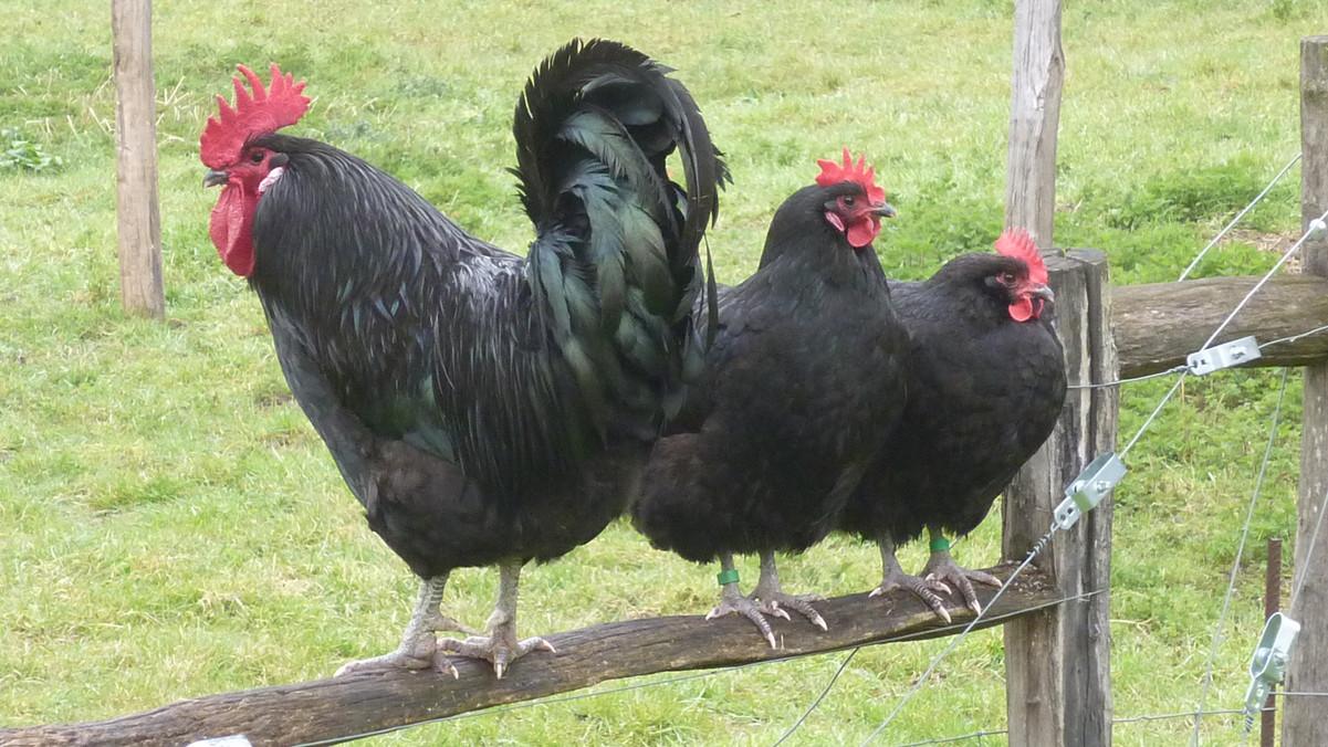 Géline_coq_poules_perchés_Audureau.JPG