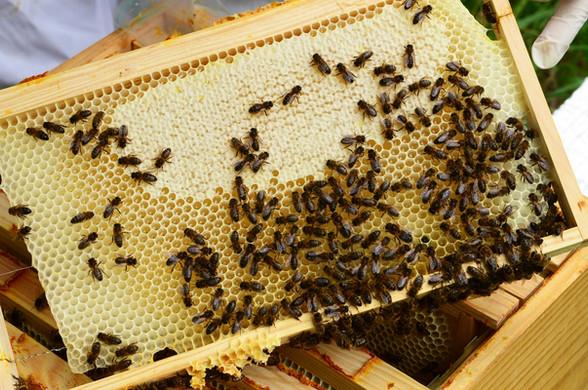 cadre abeille noire5432 red.jpg