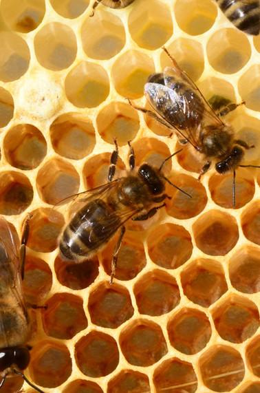 abeille noire5456red.jpg