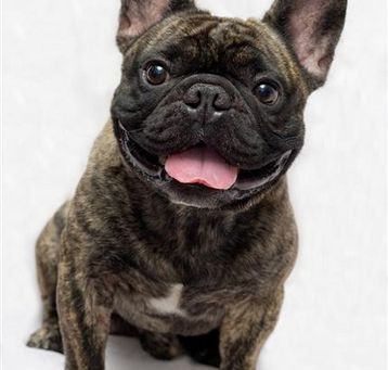 Can Frenchies Smile???