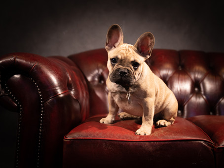 Breed of the Month (May 2021) - FRENCH BULLDOG OR FRENCHIE