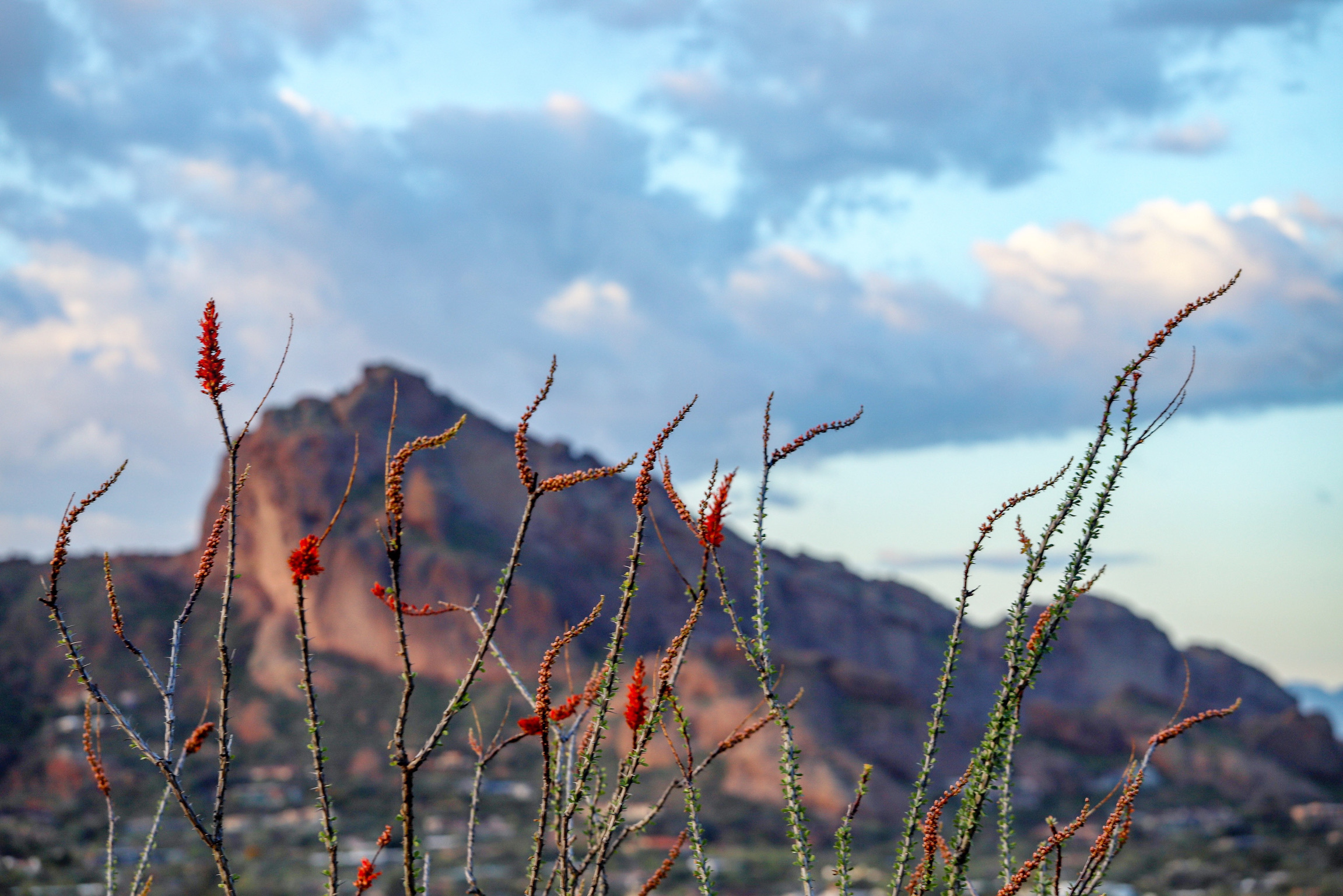Camelback and Ocotillo Blossoms