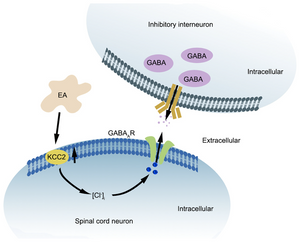 Figure 5. Outline of the current view on role of KCC2‑GABAA receptor signaling pathway in chronic constriction injury induced neuropathic pain. Under normal conditions, KCC2 maintains a low concentration of intracellular Cl‑. Peripheral nerve injury causes a differential change of KCC2 expression and function consequently increases intracellular Cl‑ concentration and hinders GABAA receptor‑mediated inhibition of neuronal excitability. The analgesic effects of EA may be achieved via regulation of the KCC2‑GABAA receptor signaling pathway in the central sensory. EA, electro‑acupuncture.