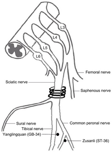 Figure 1. The location of sciatic nerve and the other nerves near to where it is described. The sciatic nerve of the right hind limb was exposed at the middle of the thigh, and four chromic gut ligatures were loosely tied around the nerve with ~1 mm spacing to prevent the interruption of blood circulation through the epineural vasculature. The two black points represent 'Zusanli' (ST‑36) and 'Yanglingquan' (GB‑34) acupoints.