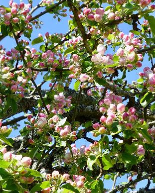 Epletre i blomst.JPG