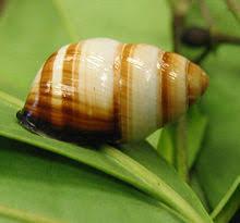 Achatinella bulmoides
