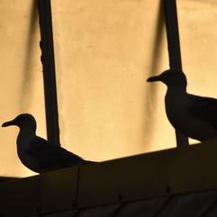 "Pesky ""seagulls"""