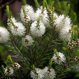 tea-tree-melaleuca-alternifolia_480x480.