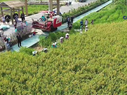 ชมคลิปการเก็บเกี่ยวข้าวยักษ์ ที่ฉงชิ่ง ในจีน