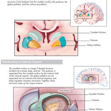 Basal Ganglia - Augusta University Neuroanatomy Manual