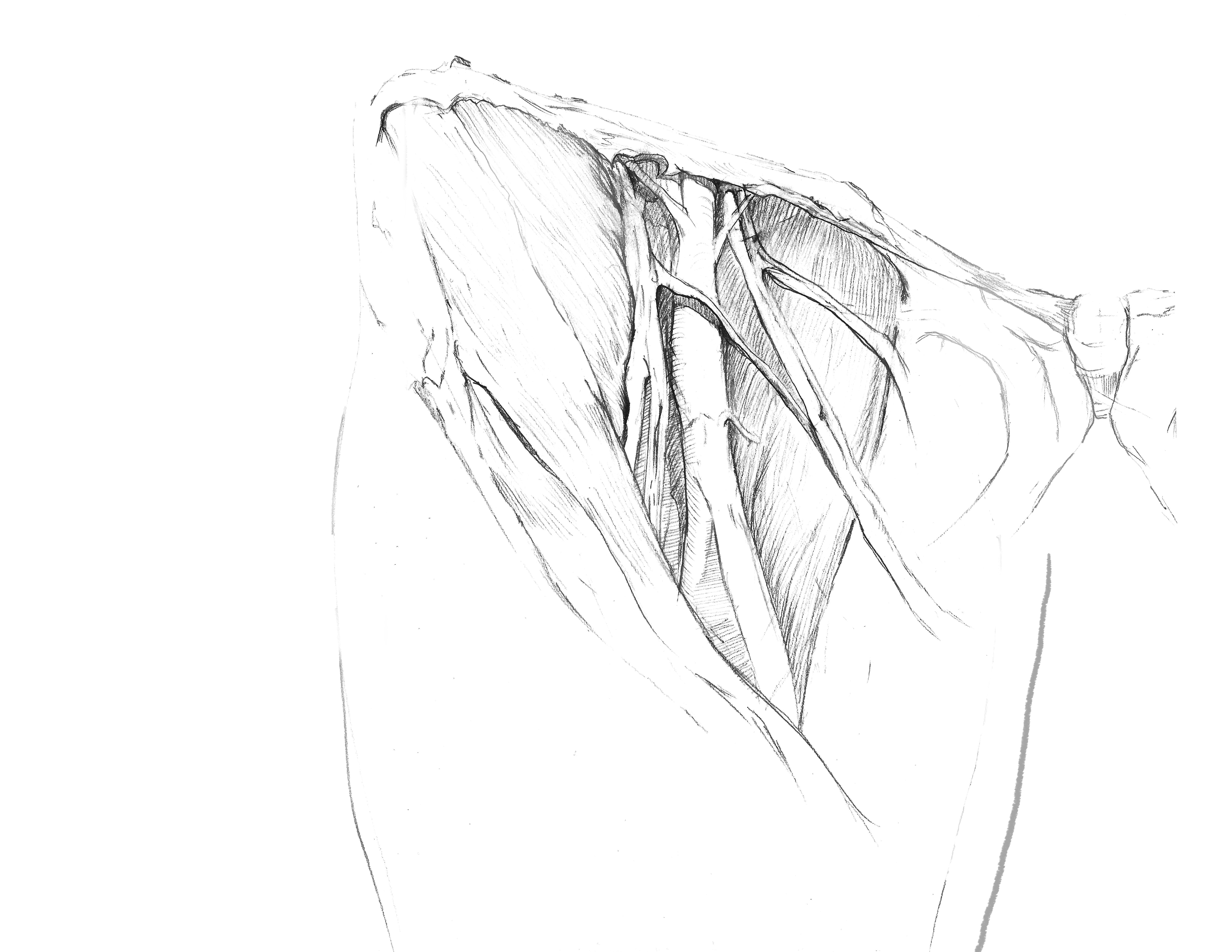 Femoral triangle sketch