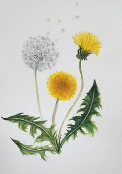lone-white-dandelion-may2021
